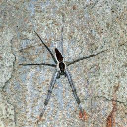Featured spider picture of Nilus albocinctus (Common White-flanked Water Spider)