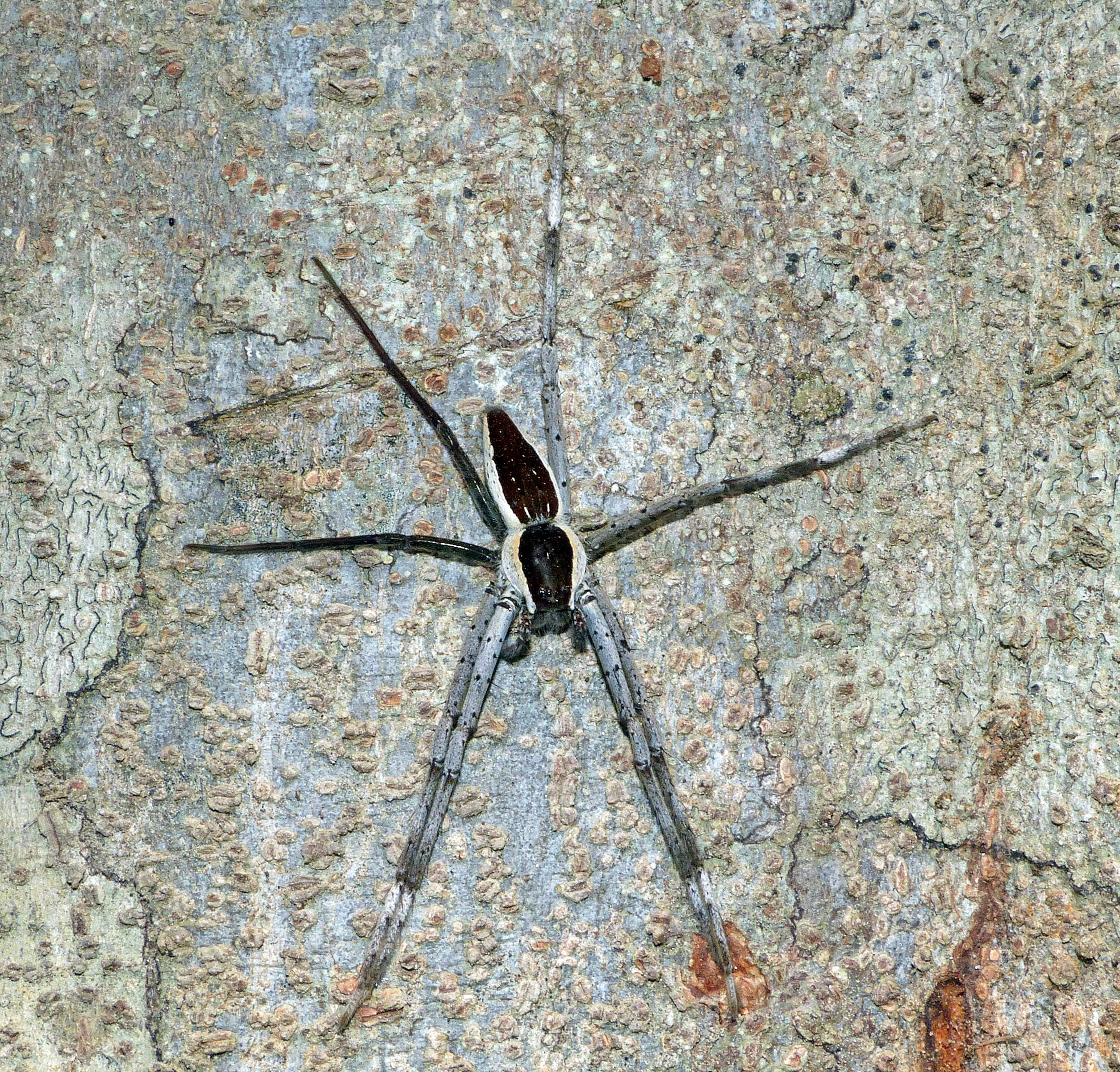 Picture of Nilus albocinctus (Common White-flanked Water Spider) - Male - Dorsal
