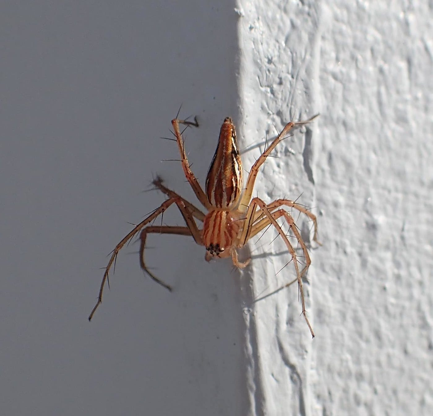 Picture of Oxyopes birmanicus (Burmese Lynx Spider) - Dorsal