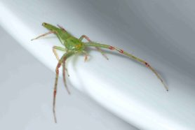Picture of Oxytate spp. (Grass Crab Spiders) - Male - Dorsal