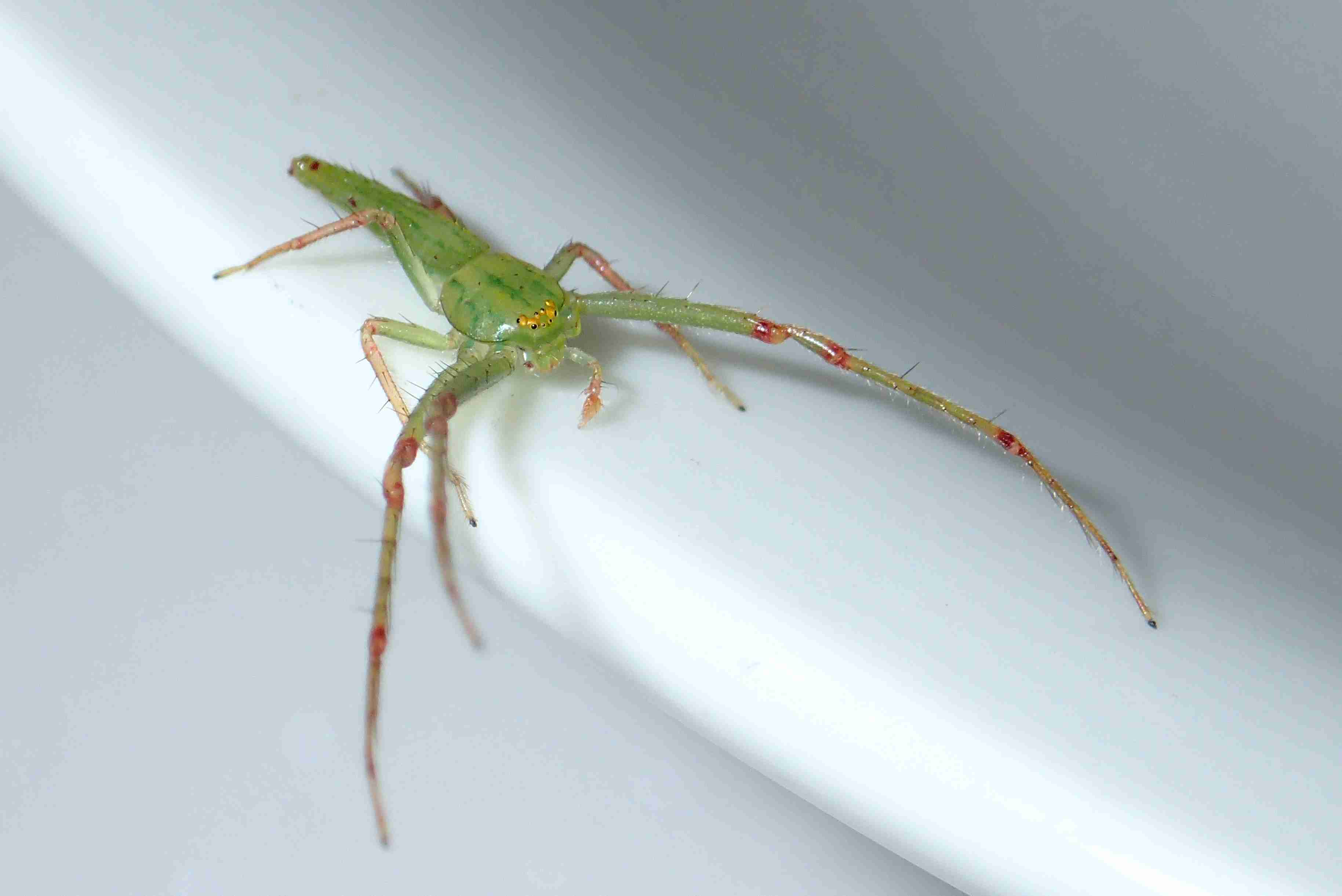 Picture of Oxytate (Grass Crab Spiders) - Male - Dorsal
