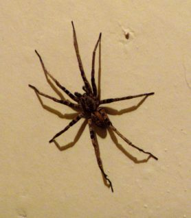 Picture of Ctenus spp. (Tropical Wolf Spiders) - Male - Dorsal