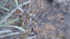 Picture of Argiope spp. (Garden Orb-weavers) - Female - Ventral,Webs