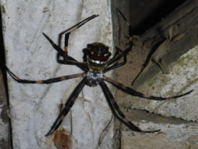 Picture of Argiope spp. (Garden Orb-weavers) - Dorsal