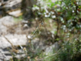 Picture of Argiope lobata (Lobed Argiope) - Lateral,Webs