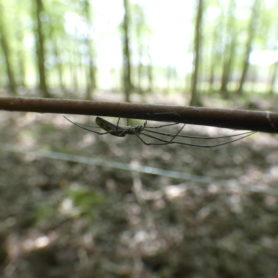 Picture of Tetragnatha spp. - Lateral