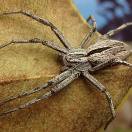 Featured spider picture of Thanatus formicinus