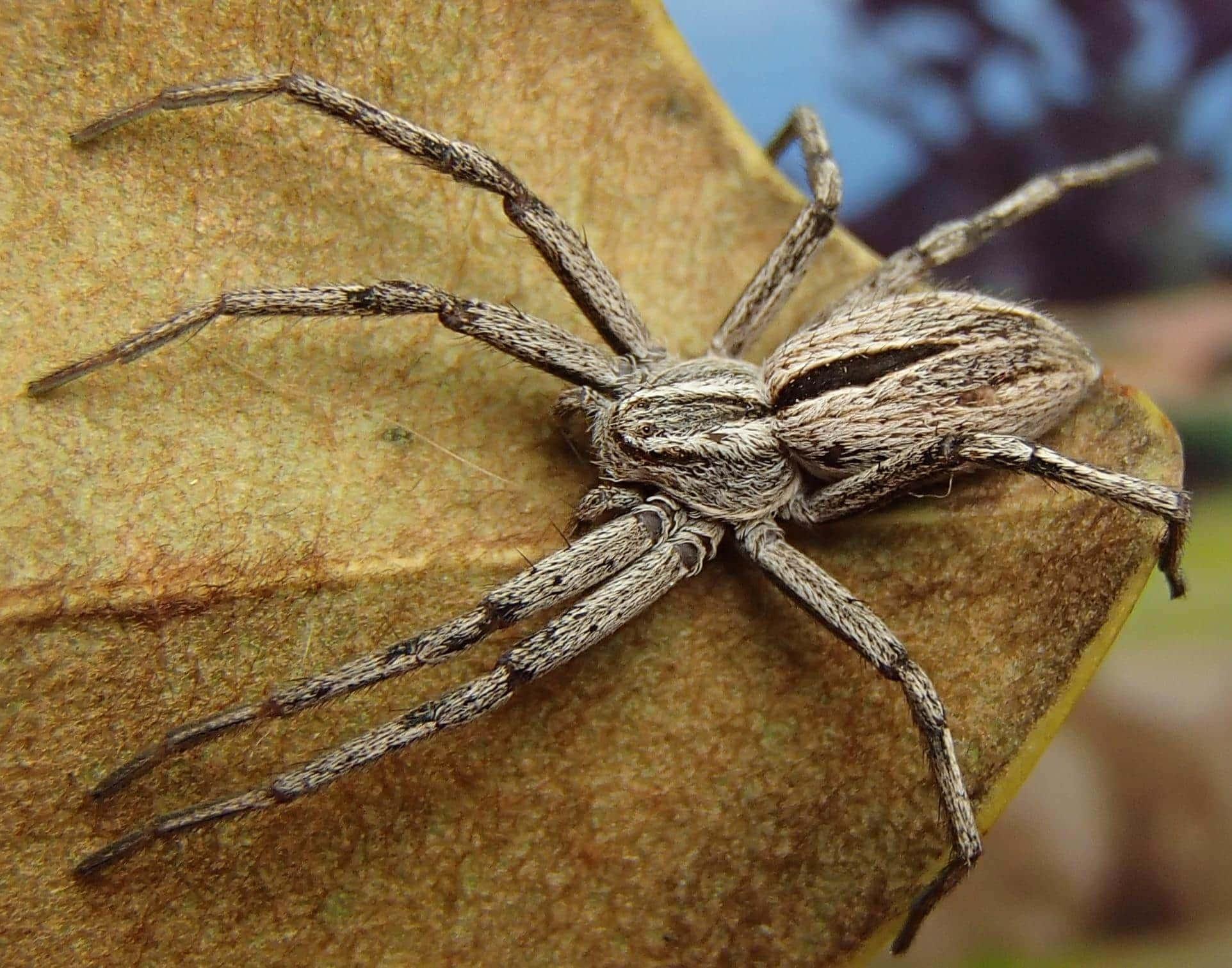 Picture of Thanatus formicinus - Female - Dorsal