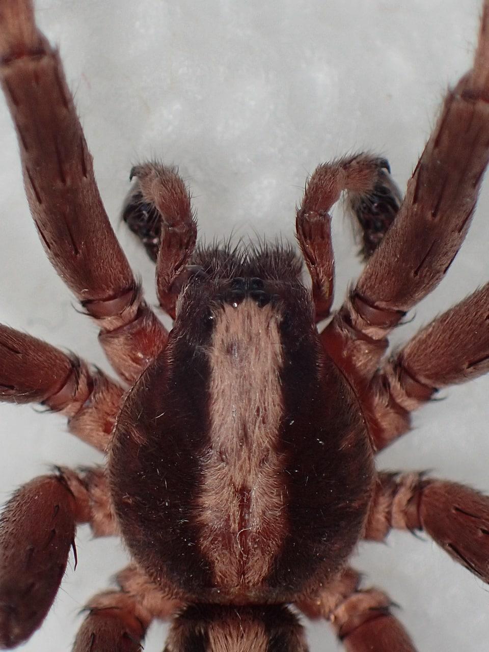 Picture of Ctenus hibernalis - Male - Dorsal,Eyes