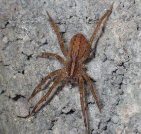 Picture of Anahita punctulata (Southeastern Wandering Spider) - Dorsal