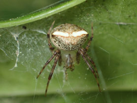 Picture of Araneus miniatus - Female - Dorsal,Eyes,In Retreat