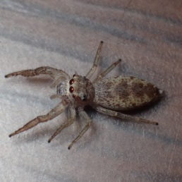 Featured spider picture of Hentzia mitrata