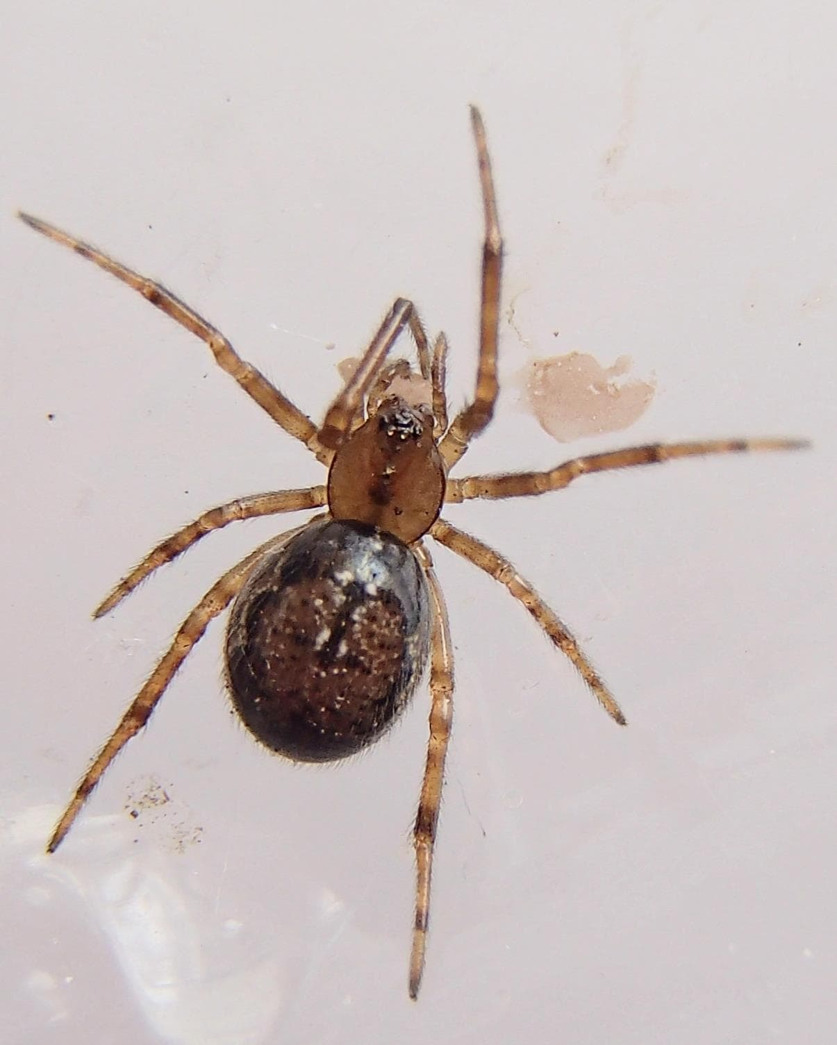Picture of Enoplognatha - Dorsal