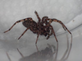 Picture of Coras spp. (Funnel Web Spiders) - Female - Eyes,Lateral