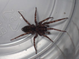 Picture of Coras spp. (Funnel Web Spiders) - Female - Dorsal