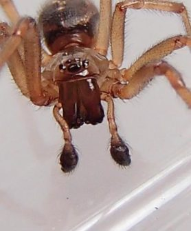 Picture of Enoplognatha spp. - Male - Eyes