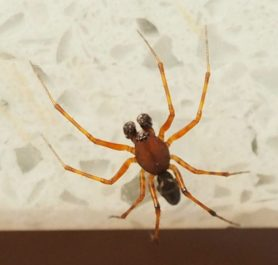 Picture of Neriene digna (Eared Dome Sheet-web Weaver) - Dorsal