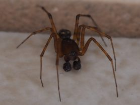 Picture of Neriene digna (Eared Dome Sheet-web Weaver) - Male - Eyes