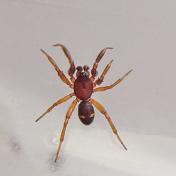 Featured spider picture of Asagena americana