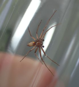 Picture of Philodromidae (Running Crab Spiders) - Male - Ventral