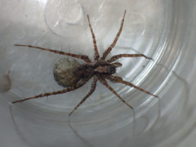 Picture of Pardosa spp. (Thin-legged Wolf Spiders) - Female - Dorsal,Egg sacs