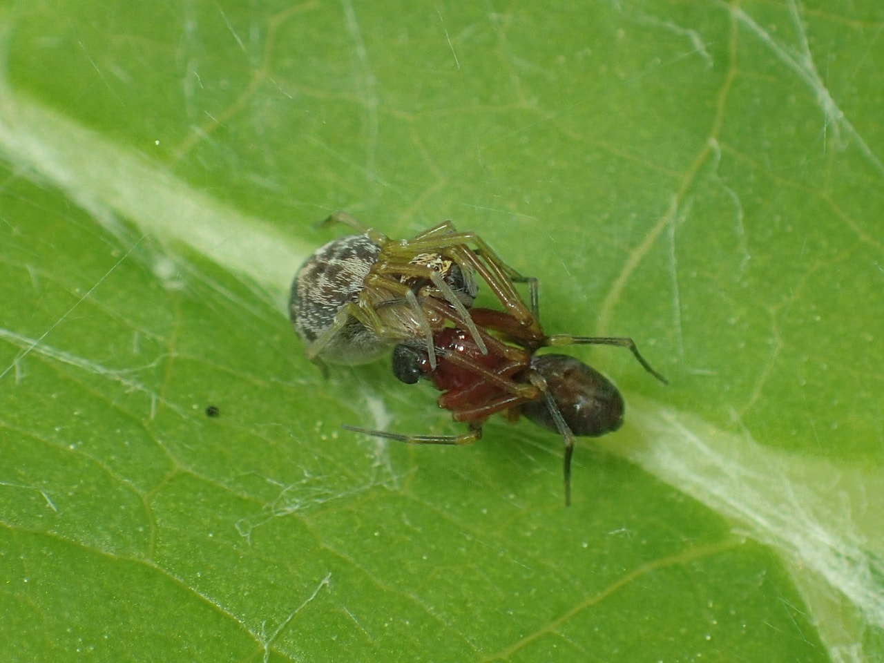 Picture of Dictynidae (Mesh Web Weavers) - Male,Female