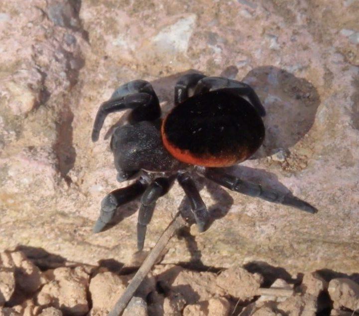 Picture of Eresus walckenaeri (Ladybird Spider) - Dorsal