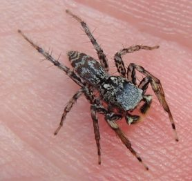 Picture of Maevia inclemens (Dimorphic Jumper) - Male - Dorsal