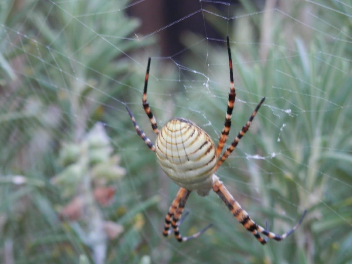 Picture of Argiope trifasciata (Banded Garden Spider) - Dorsal,Webs