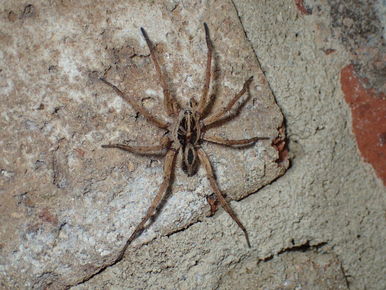 Picture of Tigrosa annexa - Male - Dorsal