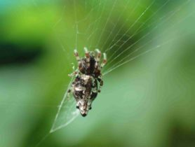 Picture of Cyclosa spp. (Trashline Orb-weavers) - Dorsal