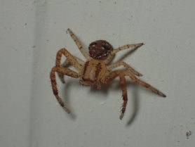 Picture of Thomisidae (Crab Spiders) - Female - Dorsal,Eyes
