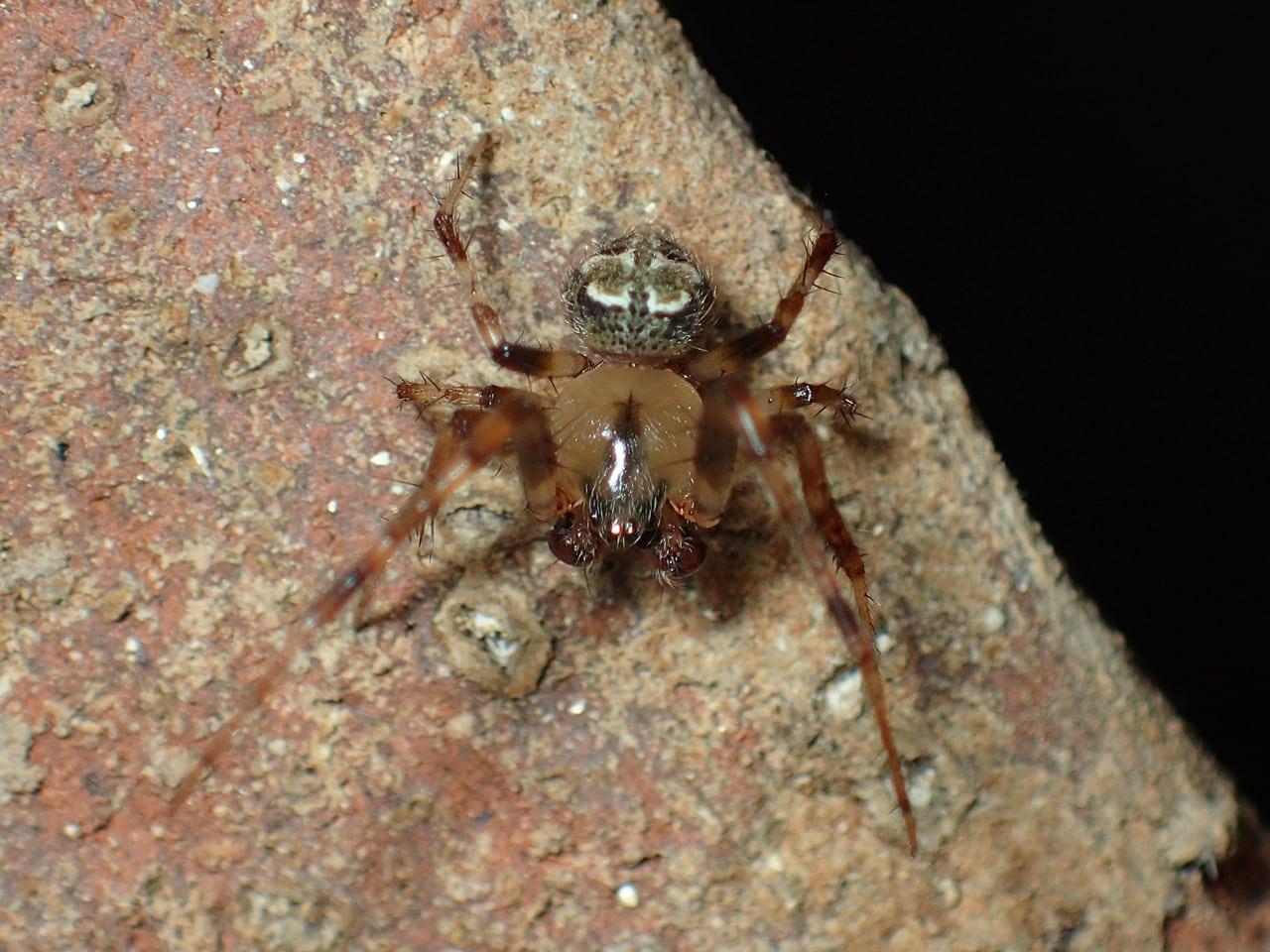 Picture of Araneus pegnia - Male - Dorsal