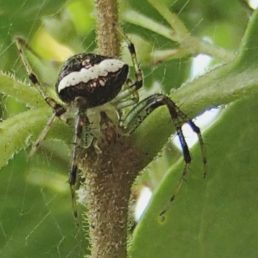 Featured spider picture of Araneus miniatus