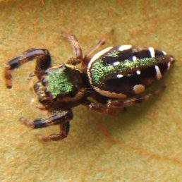 Featured spider picture of Paraphidippus aurantius (Emerald Jumping Spider)