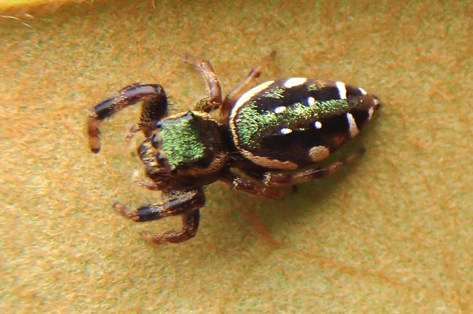 Picture of Paraphidippus aurantius (Emerald Jumping Spider) - Female - Dorsal