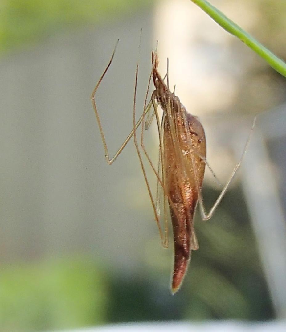 Picture of Rhomphaea fictilium - Female - Lateral