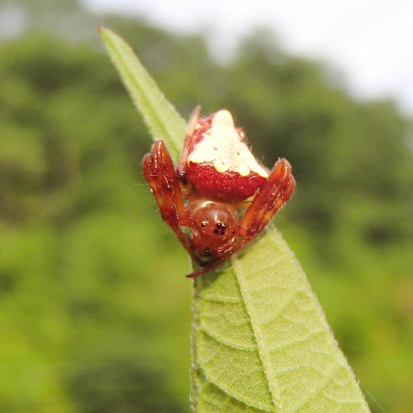 Picture of Verrucosa arenata (Arrowhead Orb-weaver) - Female - Dorsal,Eyes