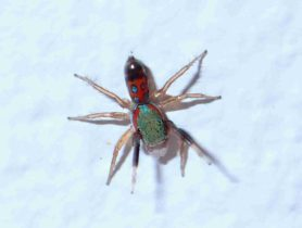 Picture of Siler semiglaucus (Jade Jumping Spider) - Dorsal