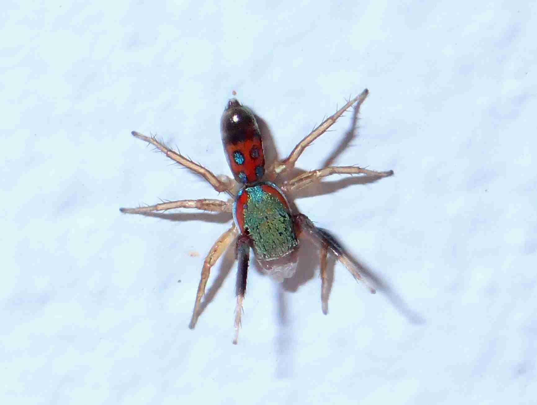 Picture of Siler semiglaucus (Jade Jumping Spider) - Dorsal