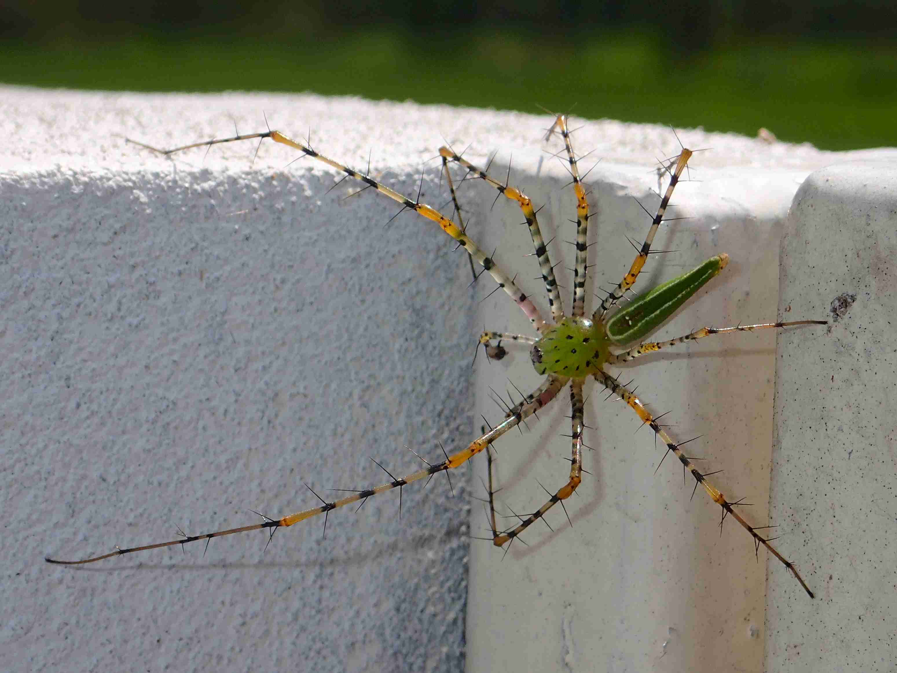 Picture of Peucetia - Male - Dorsal