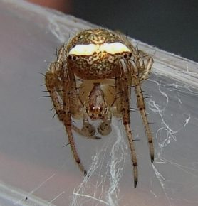 Picture of Araneus miniatus - Male - Eyes,Penultimate