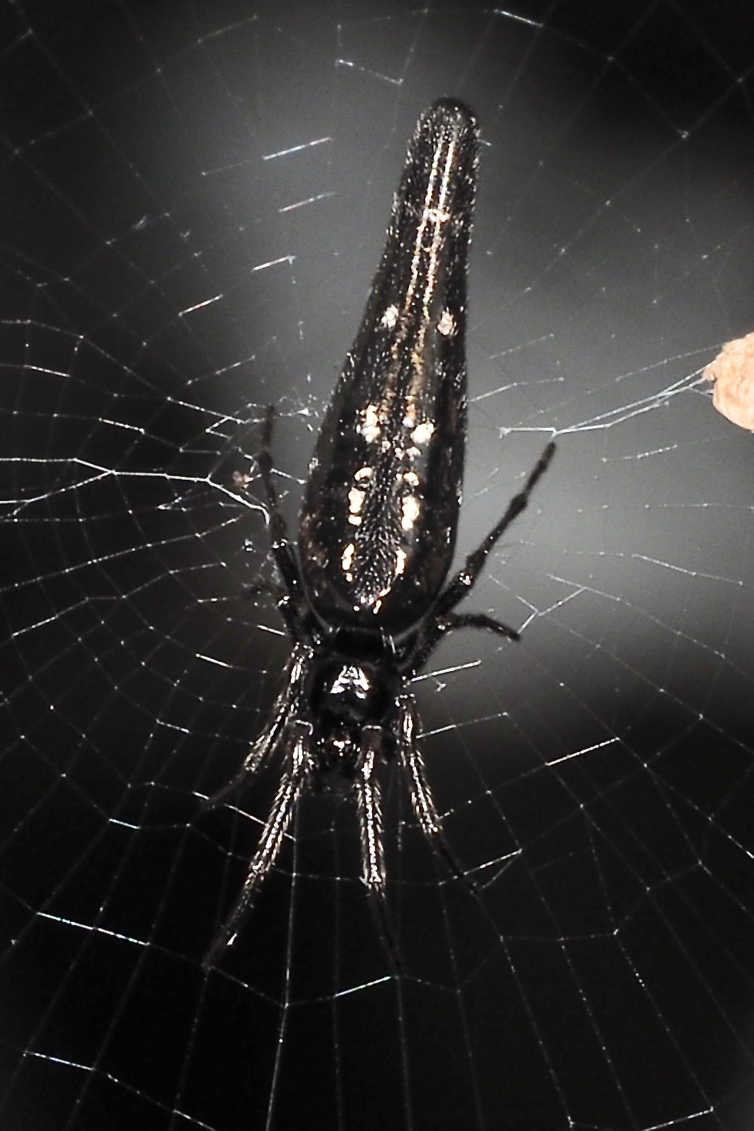 Picture of Cyclosa (Trashline Orb-weavers) - Dorsal,Webs