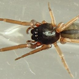 Featured spider picture of Meriola decepta