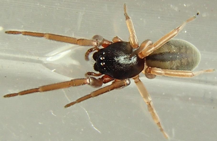 Picture of Meriola decepta - Female - Dorsal