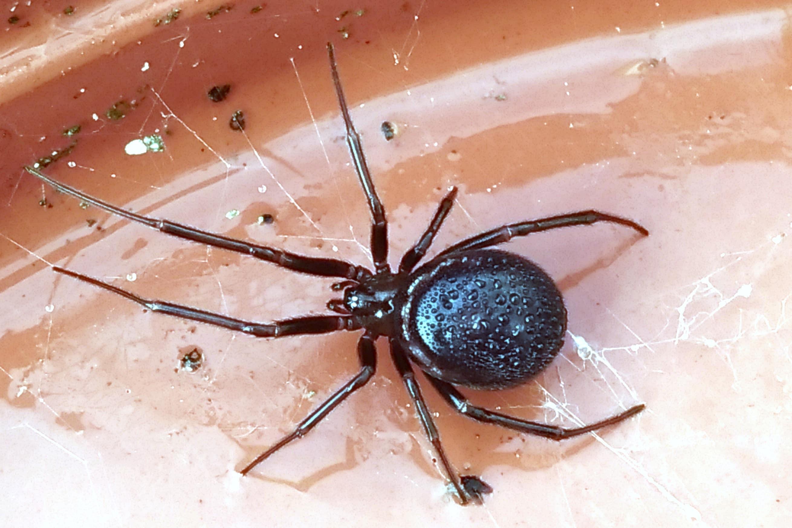 пауки рода стеатода фото всех видов статье рассмотрено