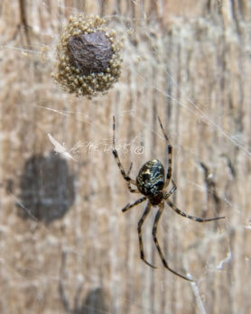 Picture of Parasteatoda tepidariorum (Common House Spider) - Female - Dorsal,Egg sacs,Spiderlings,Webs