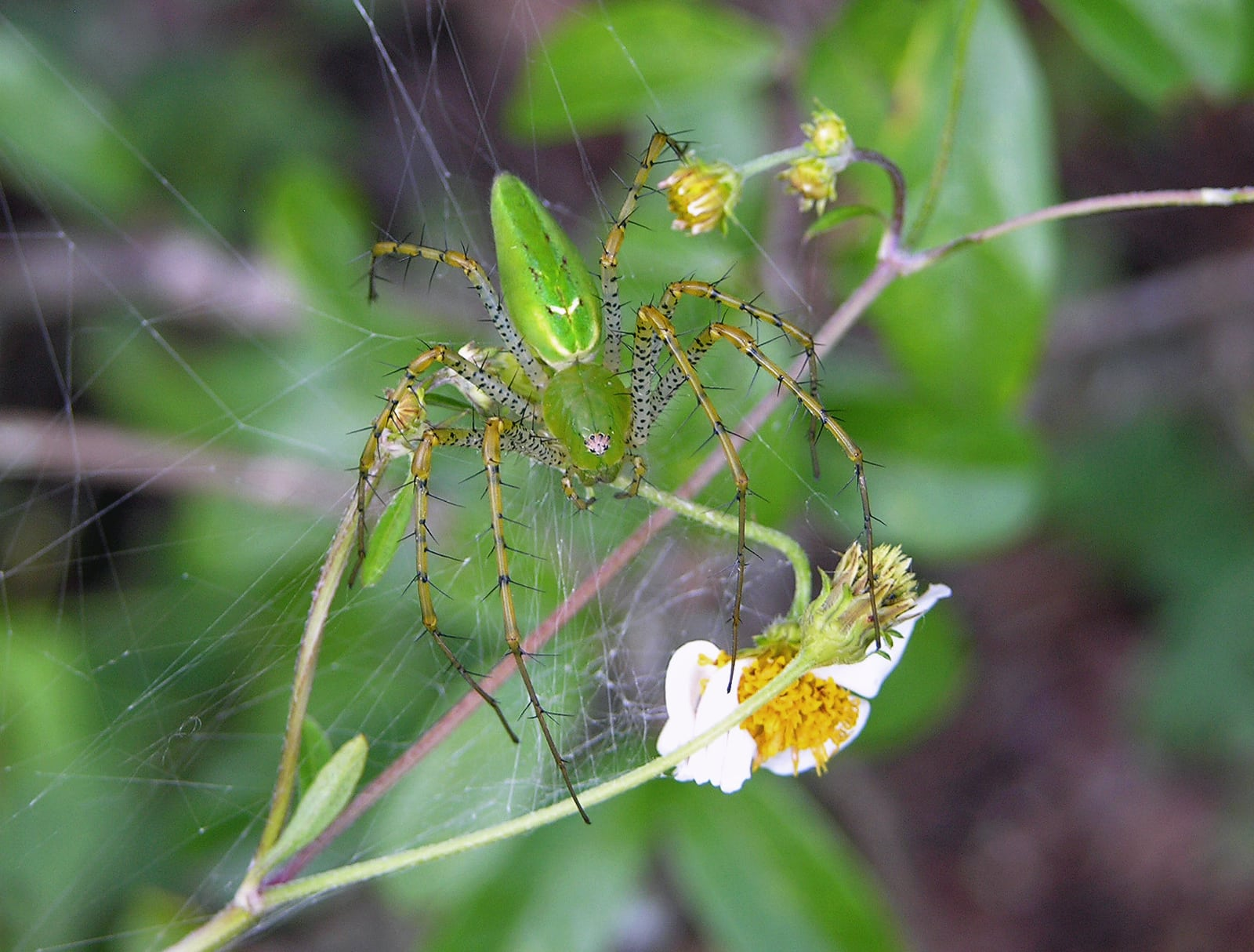 Picture of Peucetia viridans (Green Lynx Spider) - Female - Dorsal,Webs