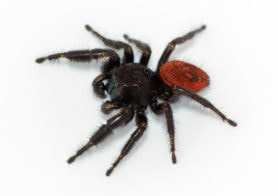 Picture of Phidippus johnsoni (Johnson Jumping Spider) - Male - Lateral
