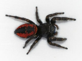 Picture of Phidippus johnsoni (Johnson Jumping Spider) - Female - Dorsal